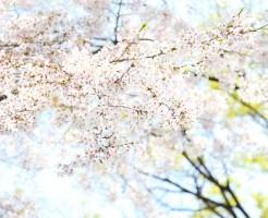 熊本市 桜 名所