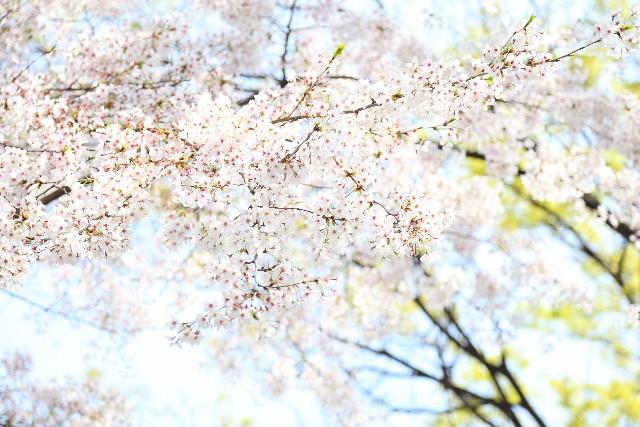 熊本市の桜の名所は本当に圧巻!一度は行っておきたい桜スポット