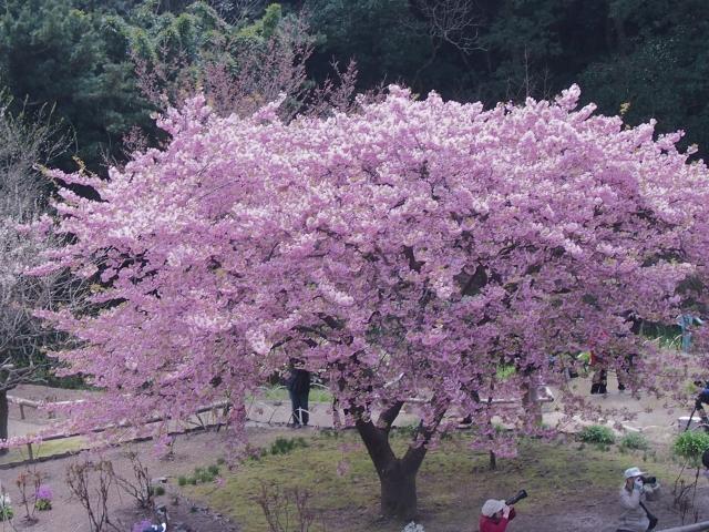 桜の名所で一本桜が見られるのはココ!オススメの一本桜スポットは?