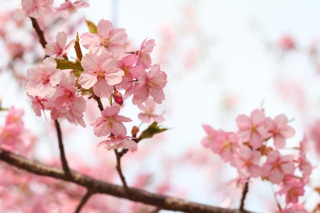 桜の名所は北九州市にもたくさん!おススメしたい桜のスポットとは?
