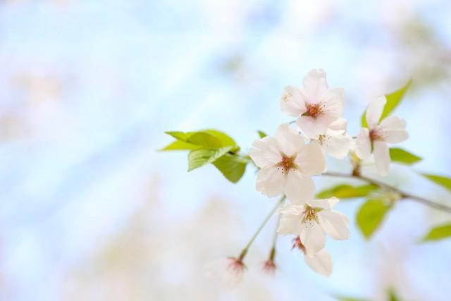 丹波市にある桜の名所をご紹介!ぜひ一度は行ってみたいスポット