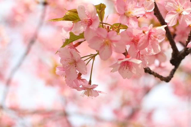 桜の名所は仙台にはどんな所があるのか?おススメしたい桜スポット
