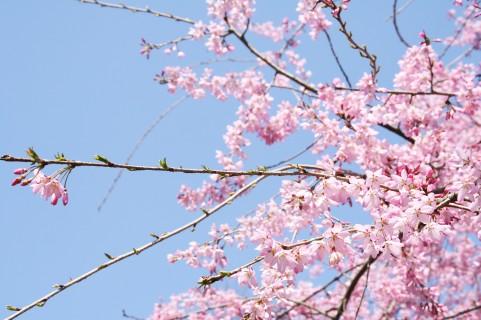 桜の名所は新潟県にはどんな所がある?お花見で行きたい桜スポット