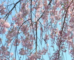 三春,滝桜,渋滞