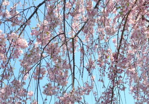 三春の滝桜は渋滞してでも見たい!その理由とは!?