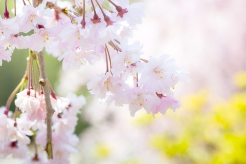 津市にある桜の名所をご紹介!ぜひ一度は行ってみたい桜スポット